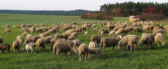sheep-3080951_1920